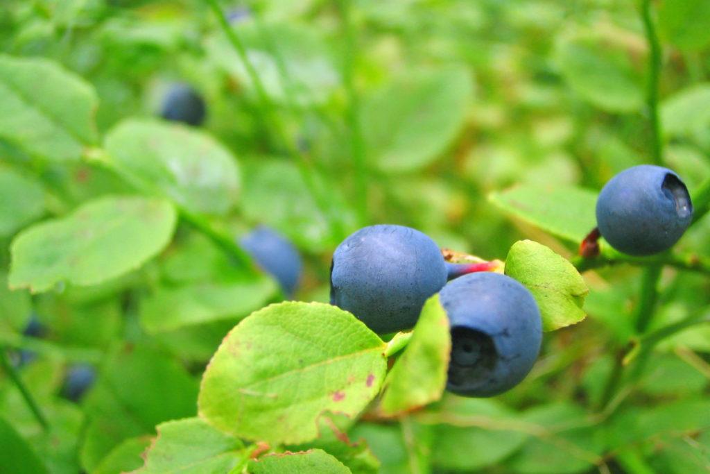 mirtillo frutta agosto